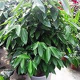 Tomasa Gartensamen- Echter Lorbeer-Baum Samen Immergrüner Baum Pflanzensamen winterhart mehrjährig Zimt Samen exotische Samen Garten Balkon Bonsai Pflanzen Saatgut
