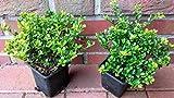 50 Ilex crenata Glorie Gem, Höhe: 10-15 cm, buschig, Alternative Buchsbaum