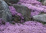 Rampantes Thym 400 graines Belle tapis de fleurs violettes et parfum citronné