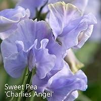 Sweet Pea 'Charlie's Angel' Seeds. Charlies Angel Sweet Peas. RHS AGM