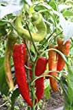 Bullhorn-Chili,milde Pepperoni in Bio-Qualität!12er Topf,2 schöne kräftige Pflanzen