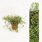 Inter Flower - 1 Pflanze Mühlenbeckia (Muehlenbeckia axillaris) trittfest + winterfest + Teppich + rankt