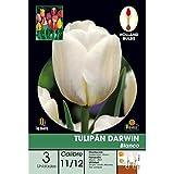 Batlle 071403bols - Bulbo Tulipán Darwin Blanco 3ud