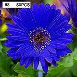 mymotto Blumensamen - blaue Gänseblümchen, die Staude ist von Sommer bis Herbst, winterhart, mehrjährig, 10/20/50 Samen (50 samen)