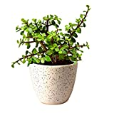 #8: Abana Homes Jade Bonsai Plants - Feng Shui for GOOD LUCK & Fortune - Indoor Live Plants for Entrance of Home with Beautiful Ceramic Pot