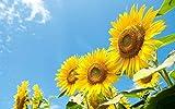Pinkdose Blumensamen: Schnittblume Sonnenblumensamen Gartenhecke (4 Pakete) Garten Pflanzensamen von