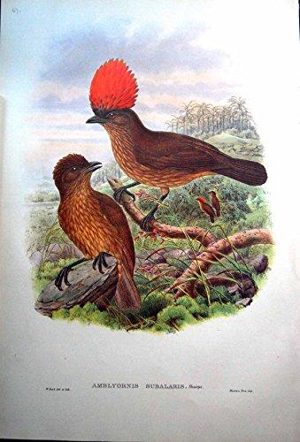 John Gould Gould Vogel (Drucken Sie Orange Bower-Vogel Mit Haube John Gould Amblyornis Subalaris Männlich-weiblicher Sharpe)