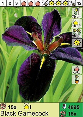 Louisiana Iris (Iris Louisiana - Louisiana Iris
