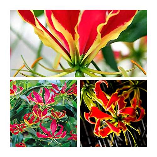 Humphreys Garden Gloriosa Superba Rothschildiana Glory Lily bulbs,Rare and Stunning Blumenzwiebel/Knolle/Wurzel (20)