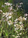 Silene vulgaris - Taubenkropf-Leimkraut, 50 Pflanzen im 5/6 cm Topf