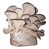 Austernpilz-Pilzzuchtkultur Pilzzucht Pilze selbst züchten