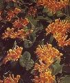 Jelängerjelieber / Gold-Geißschlinge - Lonicera x tellmanniana 60-100 cm, ab 2 Triebe von Gartengruen24 bei Du und dein Garten