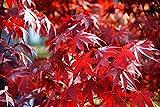 Ahorn, Roter Fächer - 20 Samen