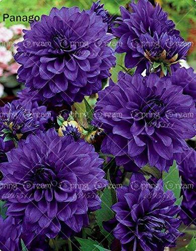 Galleria fotografica Fash Lady 2 pz Dahlia Lampadine Vero dalia bonsai bulbi da fiore perenne piante fiorite in vaso per la casa giardino rizoma pianta facile da coltivare: 9