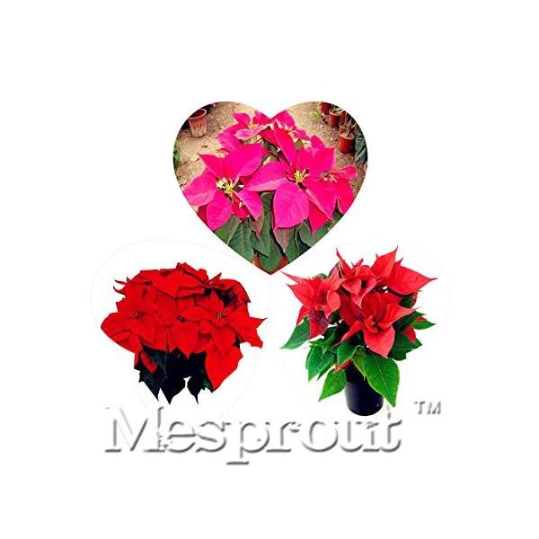 Las semillas de flor real Flores Barvinok envío Semillas, flor de pascua Amaranto, germinación Tasa de 99% – 50PCS