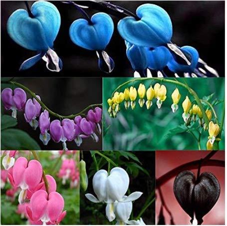 Gartensamen SummerRio- Tränendes Herz Blutende Herzblume Blumensamen Dicentra Spectabilis Blume Pflanze Saatgut winterhart mehrjährige Kraut samen für Garten Balkon