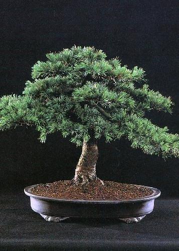 Tropica - Bonsaï cèdre du Liban (Cedrus libani) - 20 graines