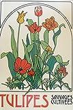 Tulipes sauvages et cultivées...