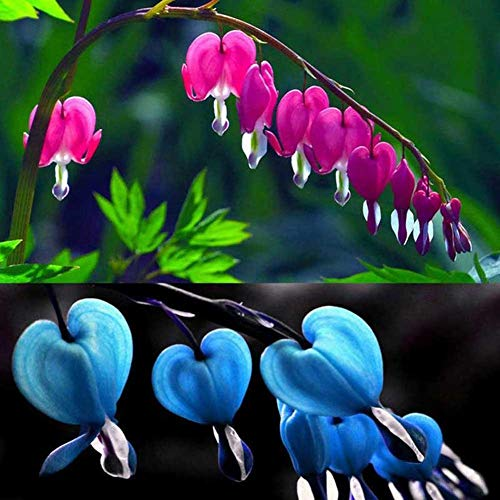 Shoppy Star Shoppy étoiles: Bemall - Purger Coeur Graines Potted plantes de jardin fond perdu Coeur Vivaces 10 Pieces / 1 sachet
