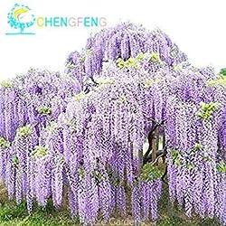 Fash Lady Weiß: 100 stücke Mix Lila Glyzinien Blumensamen Seltene Bonsai Tree Seeds Schöne Einfach Wachsen Für DIY Hausgarten