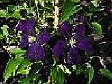 Italienische Waldrebe - Clematis viticella - Etoile Violette - stark wachsend, pflegeleicht - 40 - 60 cm