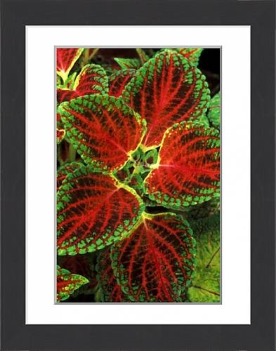 framed-print-of-coleus-winsome-under-glass-in-beautiful-victorian-greenhouses