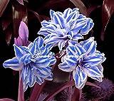 2 PCS Amaryllis lampadine veri Hippeastrum fiori lampadine (non semi) Barbados Lily potted giardino di casa balcone pianta bulbosa 08