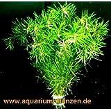 1 Bund Bacopa myriophylloides, tausendblattähnlich