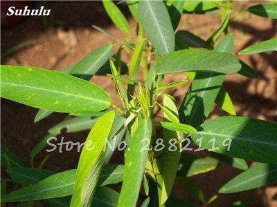 Danse des mauvaises herbes Semence 10 Pcs Bashfulgrass Codariocalyx Seeds Belle maison Herb Bonsai Diy magique Printanier Pots de fleurs Jardinière 4