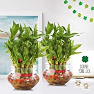 Nurturing Green 2- Layer 17-19 Stalks Combo of 2 Lucky Bamboo Plant in Glass and Ceramic Pot. (2 Lucky Bamboo Plant in matki