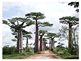 3x Adansonia perrieri Affenbrotbäume Baum Pflanze Samen Winterhart Neu B519