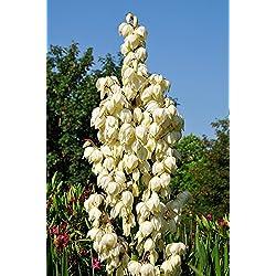 Winterharte Yucca Palmlilie - Yucca gloriosa - verschiedene Größen (60-70cm - Topf Ø 26cm - 8 Ltr.)