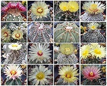 Dorstenia Crispa @ RARE succulents Cactus Graines 10 Graines