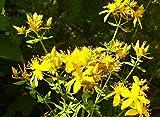 1000 echtes Johanniskraut Samen, Hypericum perforatum, Common St. Johns wort, mehrj.
