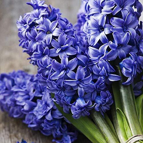 Shoppy Star Shoppy étoiles: graines Hyacinthus Orientalis parfum bon marché Bonsai Balcon Graines de fleurs jacinthe graines en pot