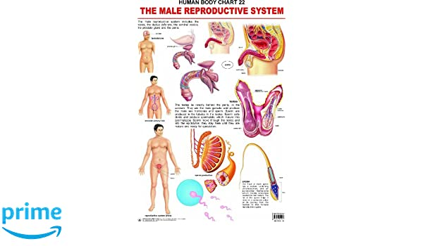 Buy The Male Reproductive System Book Online at Low Prices in India ...