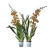 Orquídeas de Botanicly - 2 × Cambria Burrageara 'Catatante' - Altura: 60 cm, 2...