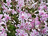 Pack x6 Creeping Phlox Subulata 'Candy Stripe' Perennial Garden Plug Plants