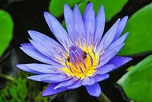 Bleu Lotus Absolut 5ml (Inde)
