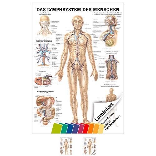 Sport-Tec Lymphsystem Mini-Poster Anatomie 34x24 cm medizinische Lehrmittel -