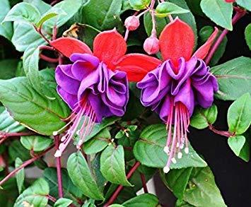 VISTARIC 5: 100 Pcs Clematis Graines de plantes Belle Paillage Graines de fleurs Bonsai ou un pot de fleurs vivaces pour jardin Mix Couleurs 5