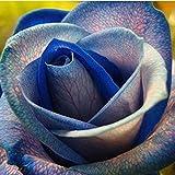 Kaimus 100pcs Rose Samen Blumen Samen Regenbogen Hausgarten Pflanzensamen