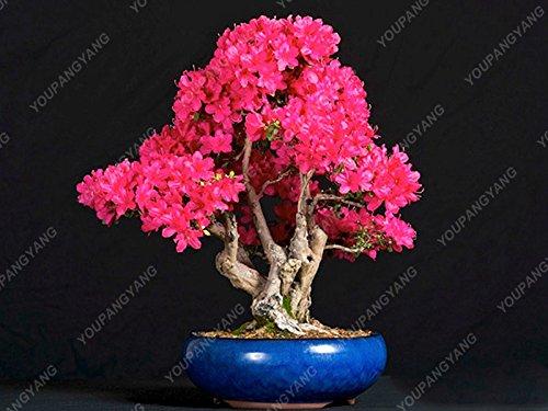 20seeds / paquet de graines de sakura japonais graines rares fleurs fleurs de cerisier japonais en rose de bonsaïs d'intérieur Bonsaï