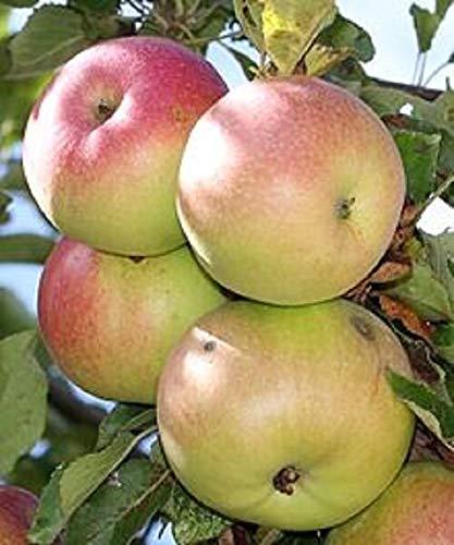 Shoopy Star Bio McIntosh Apfel 5 Samen Allzweckapfelfrucht hat rote und grüne Haut
