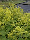Alchemilla mollis - Frauenmantel, 6 Pflanzen im 5/6 cm Topf