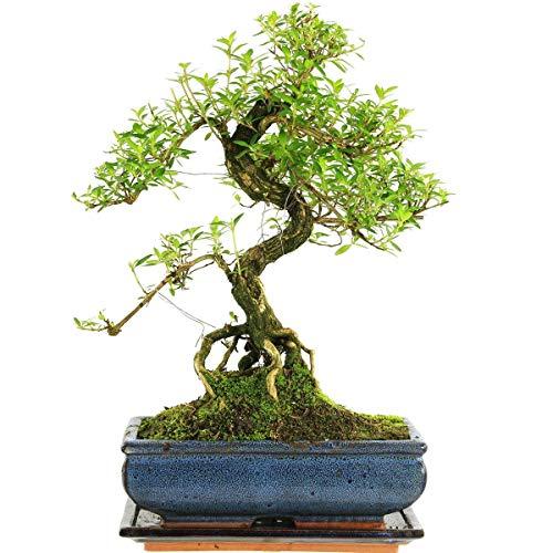 Junischnee, Bonsai, 11 Jahre, 41cm
