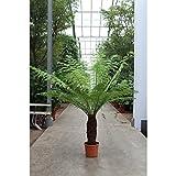 seltener Baumfarn Dicksonia antarktica - Ein Relikt aus der Urzeit - (Stamm: 30-40 cm)