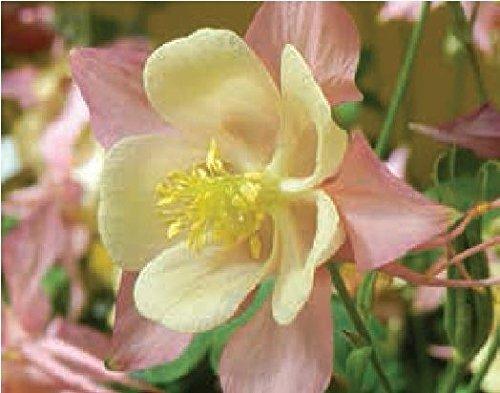 JustSeed - Blume - Akeleien - Swan F1 - Pink und Gelb - 10 Samen Pink Swan
