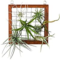 jianghui133 Air Plant Holder, Air Plants Frame Wall Holder, Air Plants Hanger Wall Display, Flower Shenter Planter Basket with Hook Hanging, House Plants, para la decoración de la Pared del hogar