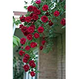 M-Tech Gardens Rare Grafted Dark Red Climbing Rose Perinnial Flower 1 Healthy Live Plant